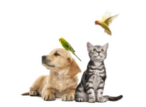 Golden retriever puppy lying with a Parakeet perched on its head next to British Shorthair
