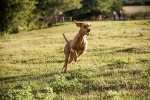 Portrait of Vizla dog running across a meadow.